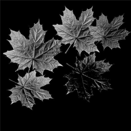 Кленовые листья ГР0020