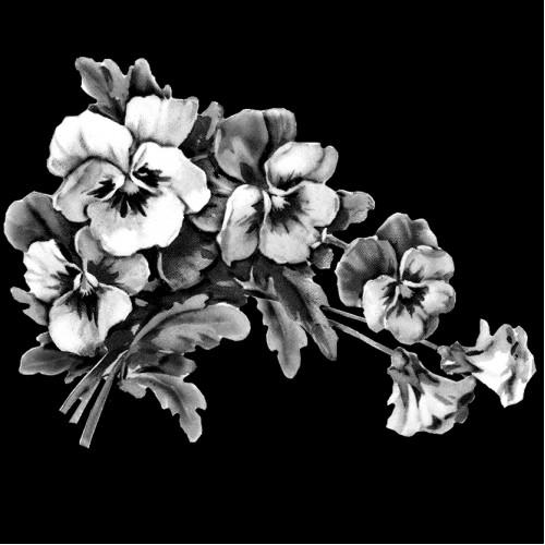 Цветы Анютины глазки ГР0018