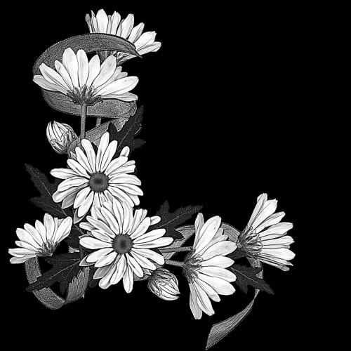 Цветы ромашки ГР0013