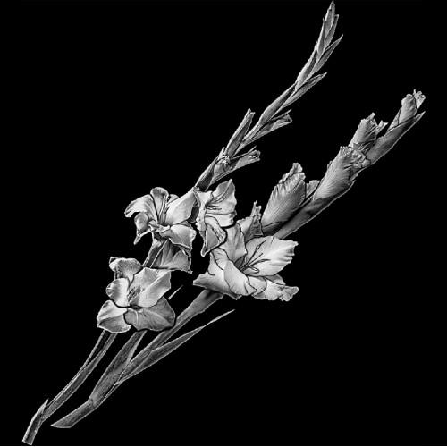 Цветы гладиолусы ГР0006