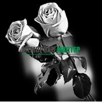 Цветы розы ГР0002